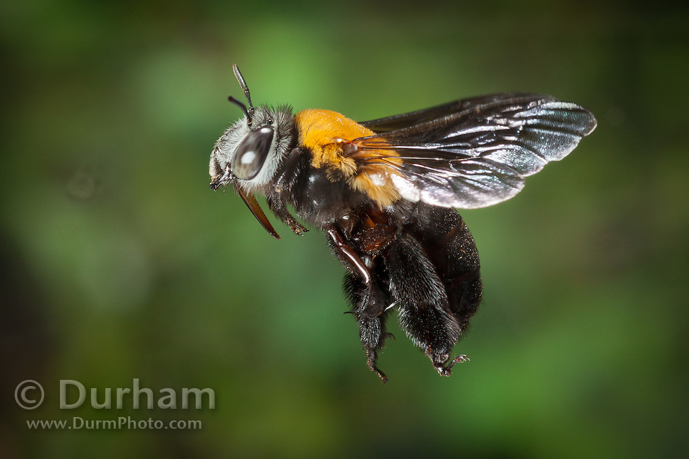 A female anthophorine bee (probably Anthophorine anthophora), photographed with a high-speed camera in Matobo National Park, Zimbabwe. © Michael Durham / www.DurmPhoto.com.