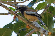 A rufous treepie perches on a tree branch, Tamil Nadu, India.