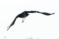 Black Stork in flight (Ciconia Negra), Fisher pond, Prypiat area, Belarus