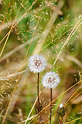 Perfect round dandelion blowball Photographed on Elfer Mountain, Stubai Valley, Tyrol, Austria in September