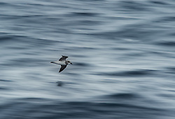 Soft-plumaged Petrel (Pterodroma mollis) near Antipodes Island, New Zealand