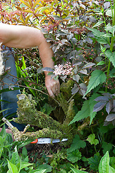Cutting back elder with a pruning saw
