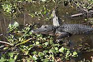 Barataria Swamp area near New Orleans, LA