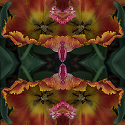 Computer abstract of altered and enhancement of colorful Parrot Parrot tulips as digital computer art.<br />