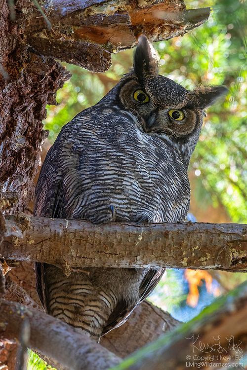 A great horned owl (Bubo virginianus) looks down from its perch in a Douglas fir tree in Snohomish County, Washington.