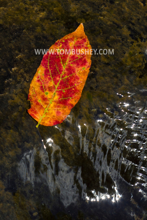Tusten, New York - A colorful leaf floats in the Ten Mile River on July 24, 2014.