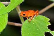 Panama - Poison Dart Frogs