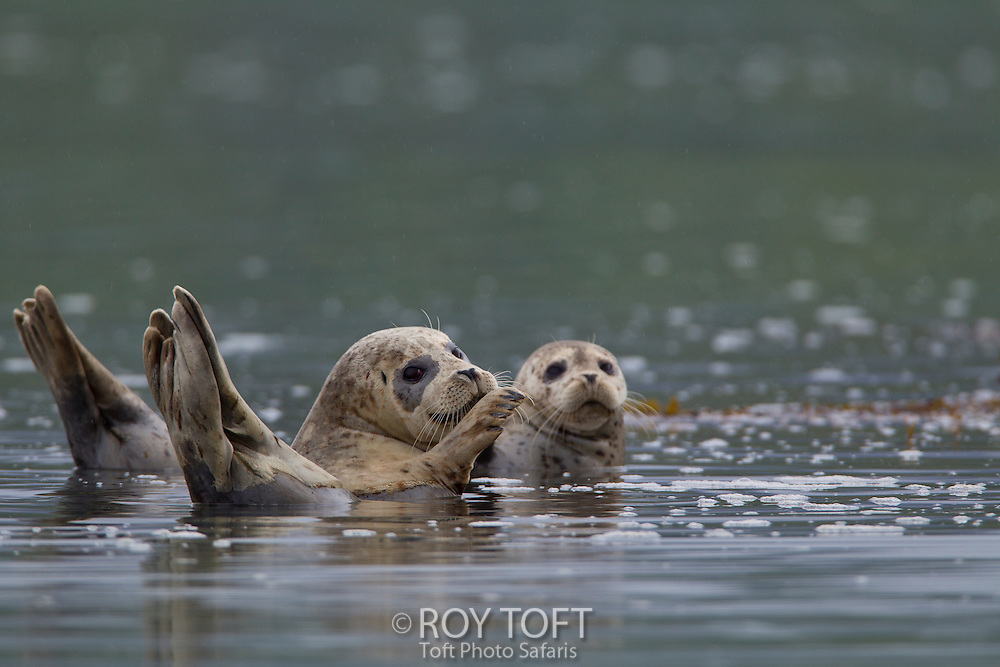 Two harbor seals in the water, Kukak Bay, Alaska