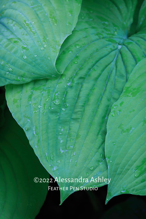 Macro view, leaves of giant blue-green hosta after a light spring rain.