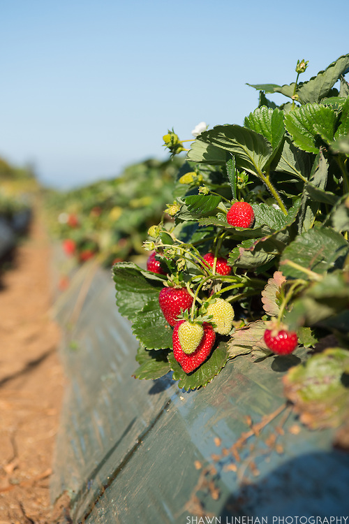 Organic strawberries make up 40% of Reiter Affiliated Corporations strawberry harvest.