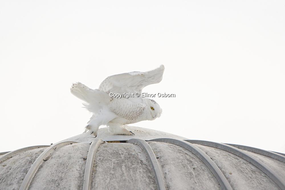 Snowy Owl on silo, wind blowing it off perch