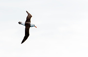 Black-browed Albatross (Thalassarche melanophris) from the Drake Passage