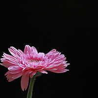 Flower fine art photography of an intriguing pink Gebera over a dark black background. Negative space, the absence of picture content does not automatically mean the absence of interest. In fact, negative space often adds interest as it often conveys a stronger emphasis on the photographic subject. Negative space can have intriguing effects on the viewer, balance the image and evoke emotions effectively.<br />