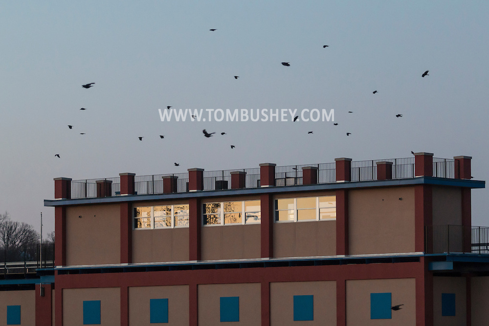 Middletown, New York - Crows gather at twilight on March 2, 2017.