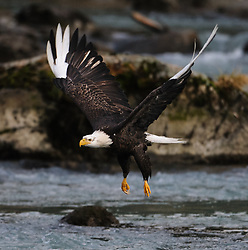 A bald eagle (Haliaeetus leucocephalus) with white wing tips and white talons flies along the Chilkoot River in the  Chilkoot Lake State Recreational Site near Haines, Alaska. The white wing tips and talons are caused by a leucistic condition -- a condition of reduced pigmentation resulting in white patches. These patches of white can occur while the rest of the animal is colored normal. Unlike albinism, the eye color is normal.