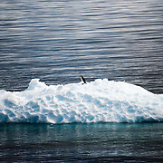 A solitary Chinstrap penguin takes a break on a small iceberg in Fournier Bay in Antarctica.