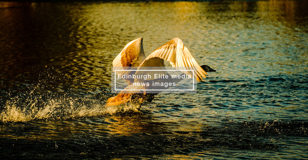A cygnet takes off to fly a short distance<br /> <br /> (c) Andrew Wilson | Edinburgh Elite media