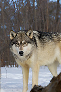 Gray wolf (Canis lupus) in winter habitat.