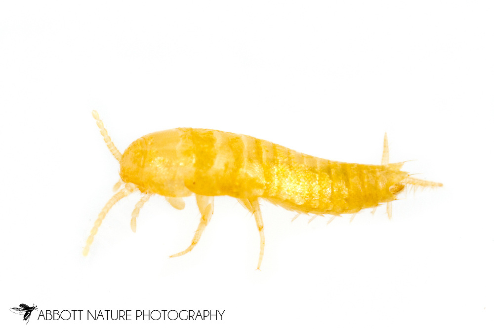 Blind Silverfish (Battigrassiella wheeleri) found in association with Solenopsis invicta<br /> United States: Alabama: Tuscaloosa Co.<br /> Moundville Archaeological Park; Moundville<br /> 8-Mar-2017<br /> J.C. Abbott #2901