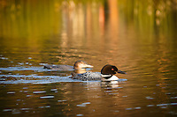 An adult loon swims protectively with a juvenile nearby.<br /> <br /> &copy;2014, Sean Phillips<br /> http://www.RiverwoodPhotography.com