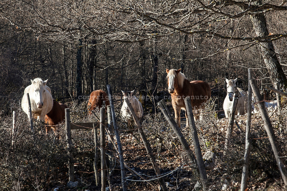 16 February 2017, Civitella Alfedana - A group of horse inside the National Park of Abruzzo.