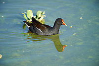 Common Gallinule (Gallinula galeata)swimming, Lake Chapala, Jocotopec, Jalisco, Mexico