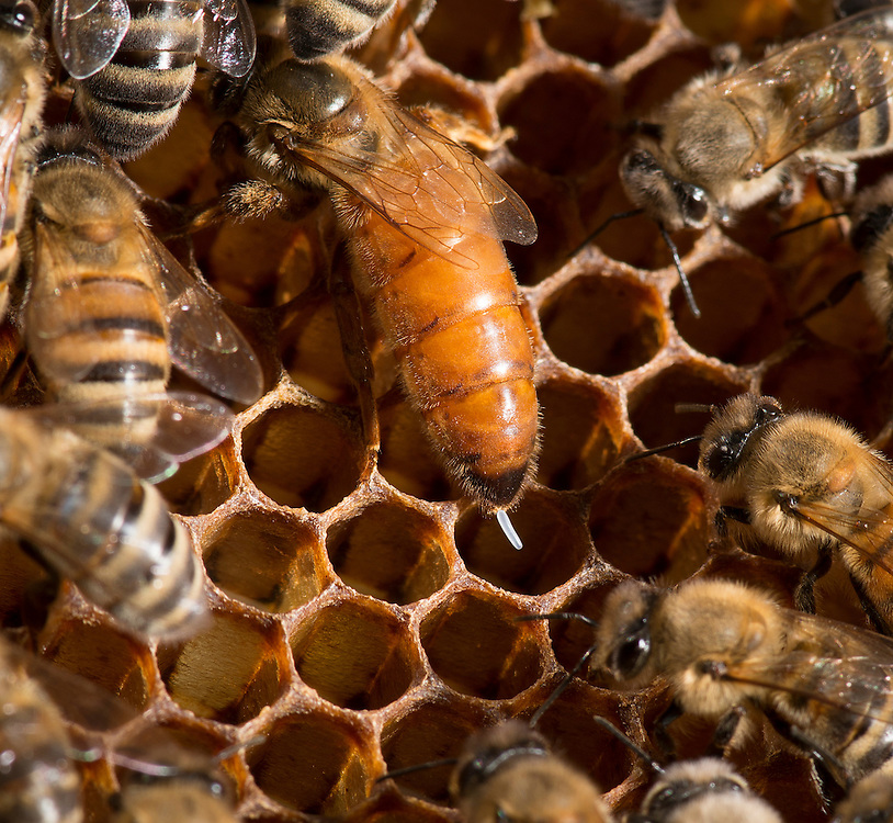 European honey bee (Apis mellifera), queen laynig eggs, Captive,  credit: Palo Alto JMZ/M.D. Kern