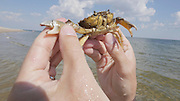 Sylt, Germany. Ellenbogen (Elbow), Sylt's Northernmost point. A crab.