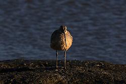 Long-billed Curlew (Numenius americanus), Palo Alto Baylands, Palo Alto, California, United States of America