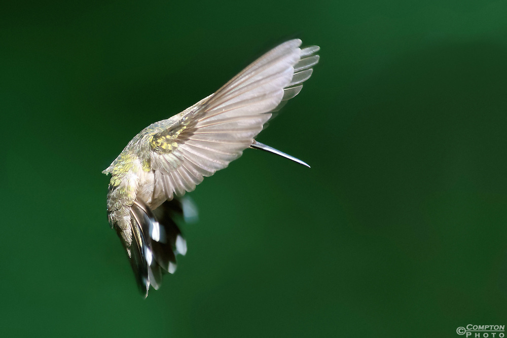 Ruby Throated Humming Bird in flight. Photographed with a 300mm macro lens @ 24mp. Very High detail.
