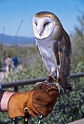 A gloved hand holds a Barn Owl at the Sonoran Desert Museum, Tucson, Arizona, USA.