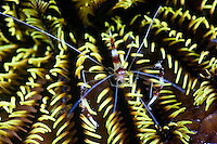 Banded boxer shrimps are cleaners that advertise their services to passing fish with their bright markings and movement.  When a fish comes into a cleaning station, the shrimp picks of dead skin and parasites - its source of food. The Komodo National Park is home to the unique Komodo Dragon, but also has some remarkable marine life.  Cold upwellings from the Indian Ocean to the south bring plenty of nutrients, providing food for a spectacular array of different species.