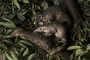Sunda pangolin<br /> Manis javanica<br /> Sub-adults rescued from poachers and in rehabilitation<br /> Carnivore and Pangolin Conservation Program, Cuc Phuong National Park, Vietnam<br /> *captive<br /> *Photographed for Wild Wonders of China for The Nature Conservancy