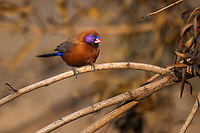Male Violet-eared Waxbill, Pilanesberg National Park, North West, South Africa