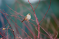 Golden-crowned Sparrow (Zonotrichia atricapilla), Parksville, British Columbia, Canada   Photo: Peter Llewellyn