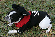 26th October 2008, West Hollywood, California. The annual West Hollywood Doggy Costume Contest, saw dog owners dressing their four-legged friends in costumes for Halloween Pictured is:  Nei Nei the French Bulldog in a pirate outfit. PHOTO © JOHN CHAPPLE / REBEL IMAGES.john@chapple.biz    www.chapple.biz.(001) 310 570 9100.