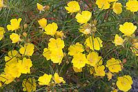 Berlandier's Primrose, (Calylophus berlandieri), San Saba County, TX