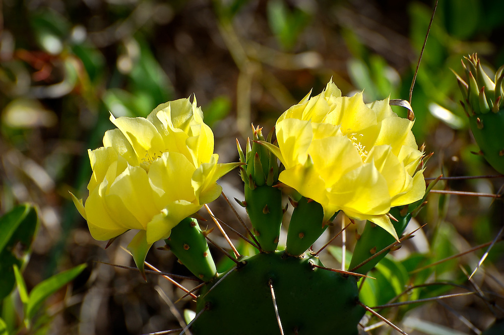 This very common cactus found all over the state of Florida produces these big showy yellow flowers in the spring, followed by edible fruits.