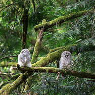 A Barred Owl (Strix varia) fledgling sleeps on a branch while its sibling looks on. Barred Owl owlets can be fed by parents for months after leaving the nest while they learn to hunt for themselves. An adult was heard hooting nearby but did not visit the owlets while I was there.  Photographed at Campbell Valley Park in Langley, British Columbia, Canada.