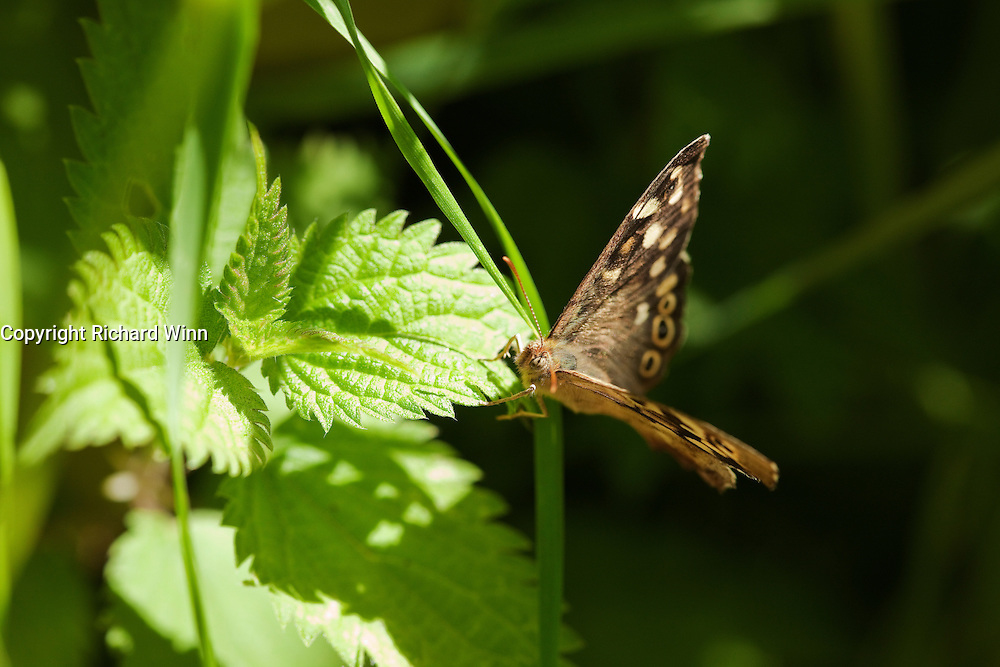 Speckled wood butterfly resting on a nettle leaf at Shapwick Heath.