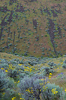 "Rocky Coulee is one of the many thousands of coulees in the area around Vantage, Washington that is essentially drainage route that hasn't really quite become an official ""creek"" but can occasionally carry running water with rain or snowmelt. This particular one in Whiskey Mountain area is absolutely beautiful in the springtime with its explosion of wildflowers including balsamroots, bitterroots, hedgehog cacti, lupine, wild onion, larkspur and many more! Also found at various times in the year: bighorn sheep, bears, elk, all kinds of game birds and birds of prey, and even some spawning salmon at the right time of year!"
