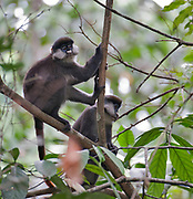 Red-tailed Monkey (Cercopithecus ascanius) from Kibale forest, Uganda.