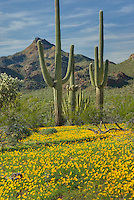 Saguaro Cactus (Carnegiea gigantea) standing amidst fields of yellow Mexican Poppies, Organ Pipe Cactus National Monument Arizona