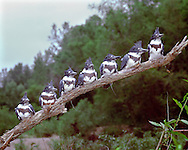 Belted Kingfisher brood, June (sw Ohio)