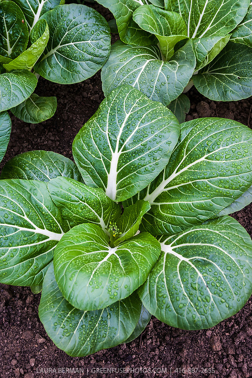 Asian Bok Choy plants sprinkled with raindrops, in a vegetable garden