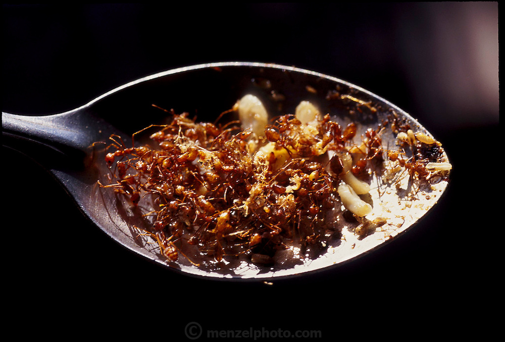 A spoonful of fried weaver ants of the Oecophylla genus, near Angkor Wat, Cambodia. They are shaken from their nests in the trees, caught in baskets on long poles, then stir-fried quickly over high heat. (Man Eating Bugs: The Art and Science of Eating Insects page 54. See also page 6)