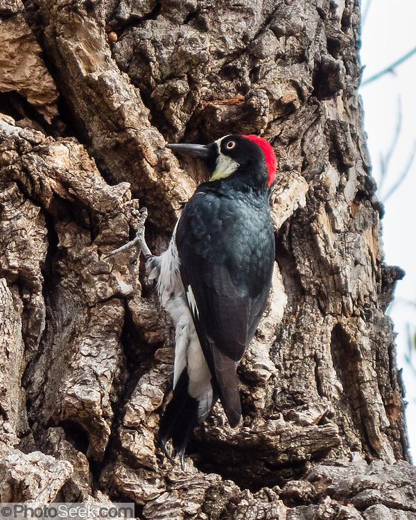 Acorn Woodpecker (Melanerpes formicivorus). Upper Bidwell Park, Chico, Butte County, California, USA.
