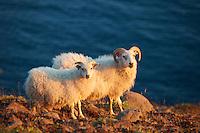 Rollur í Eyjafirði. Icelandic Sheep in Eyjafjörður, North Iceland.