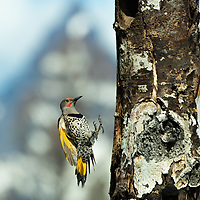Female Northern Flicker landing-landscape