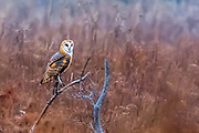 Barn Owl (Tyto alba) sitting on a tree limb